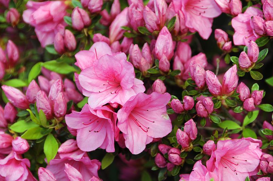 Rhododendron simsii - Azélea