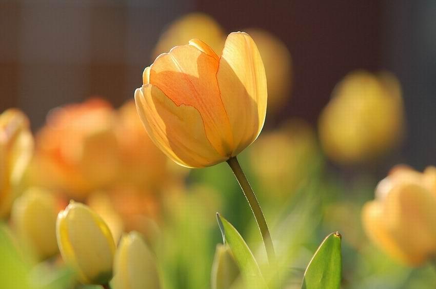 tulipán szaporítása